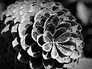 Neurotic Images Photography Prints - Monochrome Pine Cone Print by Chalet Roome-Rigdon