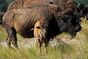 American Bison Prints - Montana Bison 2 Print by T C Brown