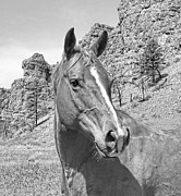 Quarter Horses Posters - Montana Horse Portrait in Black and White Poster by Jennie Marie Schell