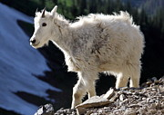 Wildlife Pyrography - Montana Mountain Goat Kid by John Cole