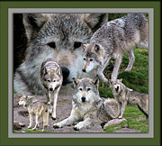 Photography By Thomas Woolworth Prints - Montana Wolf Pack Print by Thomas Woolworth