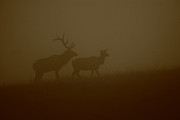Male Elk Posters - Moody Misty Morning Poster by Bruce J Robinson