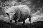Keith Thorburn - Moody Sheep