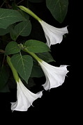 Moon Flower Prints - Moon Flowers Setting Print by Angie Vogel
