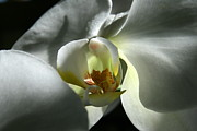 Natures Photos Prints - Moon Orchid in Shadow Print by Neal  Eslinger