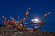 Oldest Living Tree Posters - Moonlight dance - light painting night view of the Ancient Bristlecone Pine Forest Tree. Poster by Jamie Pham