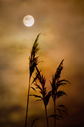 Spooky Moon Framed Prints - Moonlit Stalks Framed Print by Gary Heller