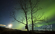 Bare Trees Posters - Moonset And The Northern Lights, Yukon Poster by Philip Hart