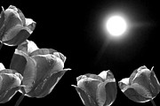 Big Tulip Prints - Moonshined Tulips Black White Print by Kathie McCurdy