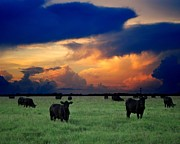 Black Angus Framed Prints - Mooo-ving Sunset Framed Print by Dennis Stanton