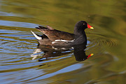 Mick Gosling - Moorhen in morning sun