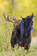 Gros Ventre Art - Moose 1 - Hammock 0 by Sandy Sisti
