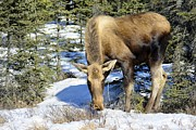 Winter Photos Prints - Moose Connection Print by Debra  Miller
