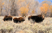 Canon 7d Prints - Moose Print by Donna Kennedy