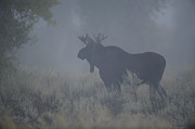 Randy Originals - Moose in the mist by Randy and Donna Giesbrecht