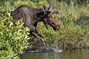 Bull Moose Prints - Moose Makes a Splash Print by Paul W Sharpe Aka Wizard of Wonders
