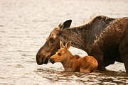 Jeannette Hunt - Moose Mom with Calf