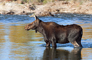 Gros Ventre Art - Moose on the  Gros Ventre River by Gary Langley