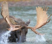 Bull Moose Photo Posters - Moose Splash Poster by Adam Jewell
