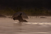 Cow Photos - Moose Swim by Brent Ander
