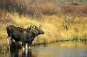 Two By Two Posters - Moose Twin Calves Standing On Stream Poster by Milo Burcham
