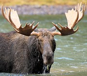 Bull Moose Photo Posters - Moose With A Mouthful Poster by Adam Jewell