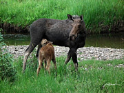 Jim Fillpot - Moose with Calf