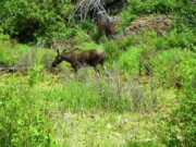 Elk Mixed Media - Moose - Yellowstone National Park by Photography Moments - Sandi