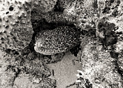 For Ninety One Days - Moray Eel In Puerto...