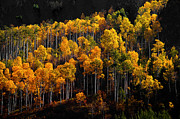 Colorado Aspen Prints - Morning Aspens Print by The Forests Edge Photography - Diane Sandoval