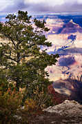 Conifer Tree Prints - Morning at Grand Canyon Print by Lisa  Spencer