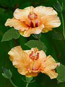 Flower - Morning Blooms - Hibiscus by Ben and Raisa Gertsberg