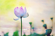 Spiritual Art Posters - Morning Breeze and Beautiful Lotus Poster by Jenny Rainbow