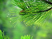 Pine Needles Photo Originals - Morning Dew by Angela LaRue