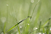 Green Blade Of Grass Posters - Morning dew Poster by Jana Behr