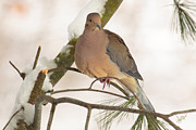Fowl Photos - Morning Dove by Everet Regal