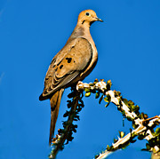 Hunted Photos - Morning Dove by Robert Bales