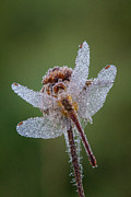 Dew Covered Posters - Morning Dragonfly Poster by Todd Bielby