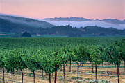 Asti Vineyards Photo Posters - Morning fog over vineyards in the Alexander Valley  Poster by Gary Crabbe