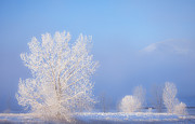 Ice Trees Prints - Morning Frost Print by Darren  White