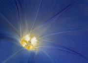 Barbara McMahon - Morning Glory Illumination
