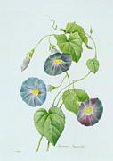 Wild Flowers Paintings - Morning Glory by Pierre Joseph Redoute