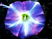 Kitchen Photos Prints - Morning Glory Print by Will Boutin Photos