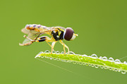 Networking Prints - Morning Hoverfly Print by Mircea Costina Photography