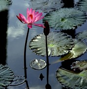Lilly Pad Photos - Morning Light by Karen Wiles