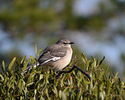 Rderder Prints - Morning Mockingbird Print by Roy Erickson