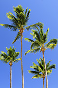 Caribbean Sea Metal Prints - Morning palms Metal Print by Elena Elisseeva