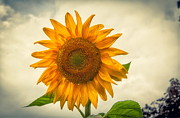 Dave Beal - Morning Sunflower
