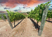 Wine Country Digital Art Prints - Morning Vineyard Print by Sharon Foster