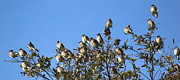 Rosanne Jordan - Morning Waxwings